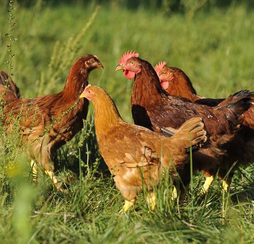 Dans Nos Coeurs 81 : bodin grand sp cialiste de la volaille bio lance son poulet bio le 81 jours a vos assiettes ~ Maxctalentgroup.com Avis de Voitures