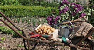 Plantez gratuitement la pomme de terre Pompadour en mars 2020