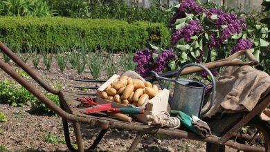 Photo de Plantez gratuitement la pomme de terre Pompadour en mars 2020